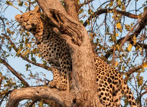 Leopard©, Okavango Delta, Botswana, Photograph by Trina Pate