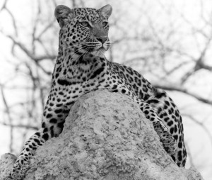 Leopard on a Termite Mound , Okavango Delta, Botswana, Photograph by Trina Pate